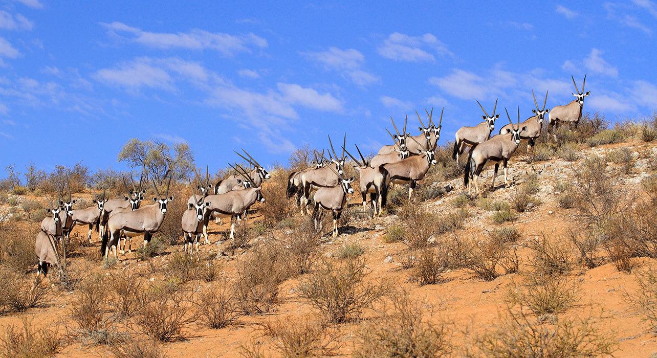 6 slide gemsbok oryx namibia herd desert africa pano