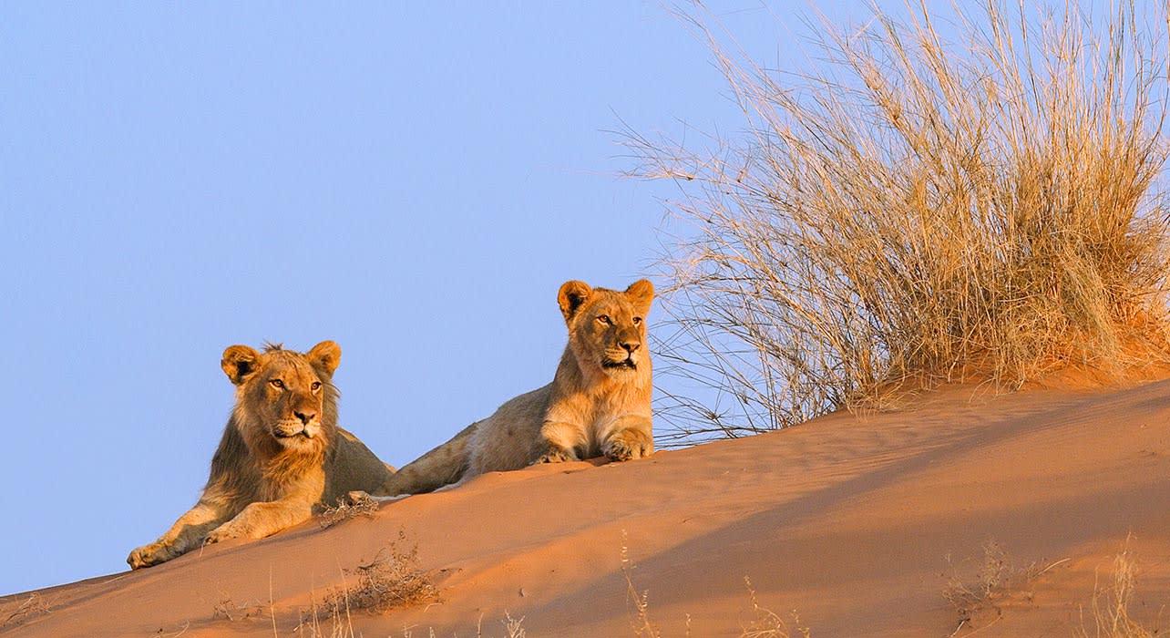 desert lion dune male female