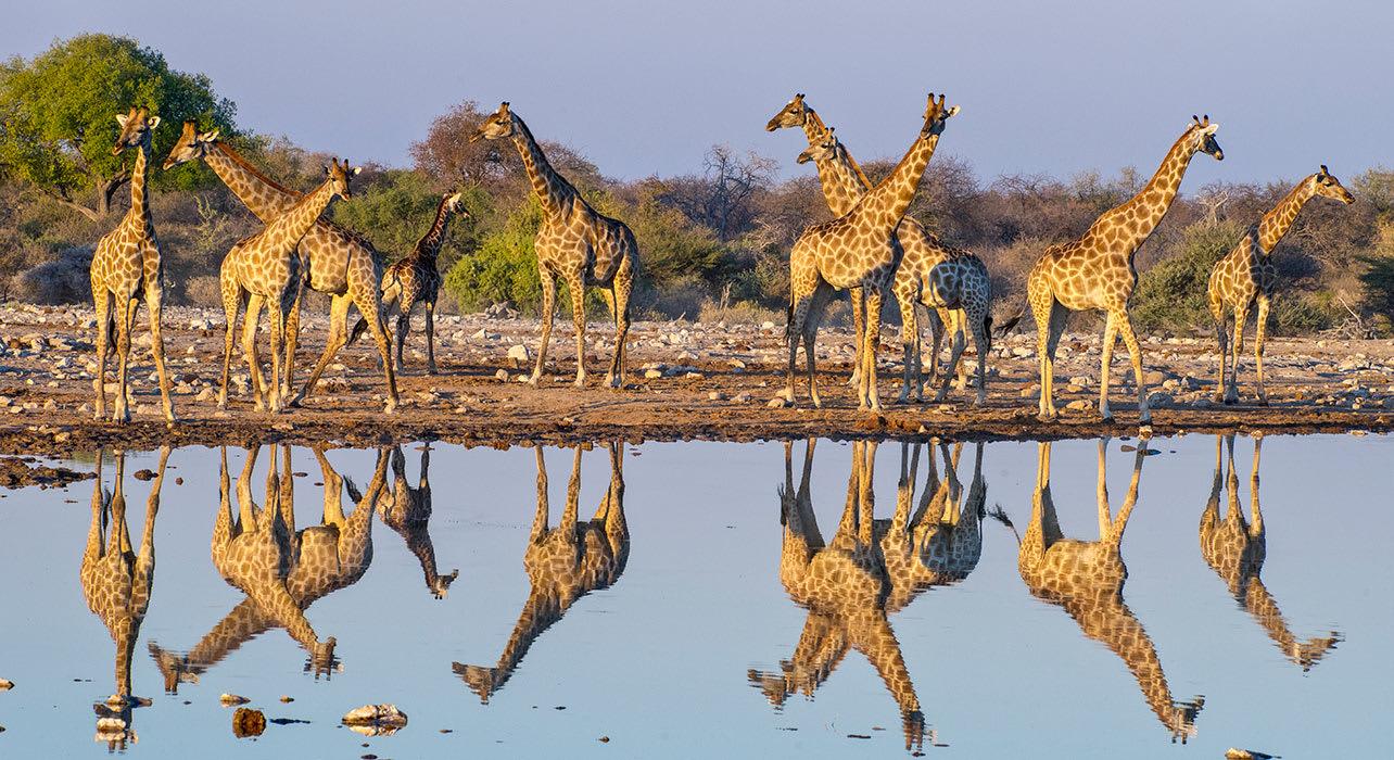 1 slide namibia etosha waterhole giraffe pano
