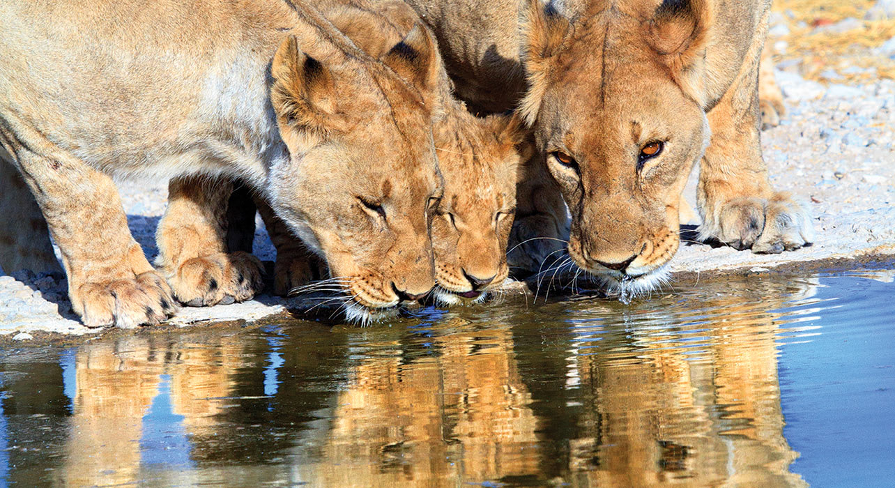 2 slide female lions water hole drinking namibia africa pano