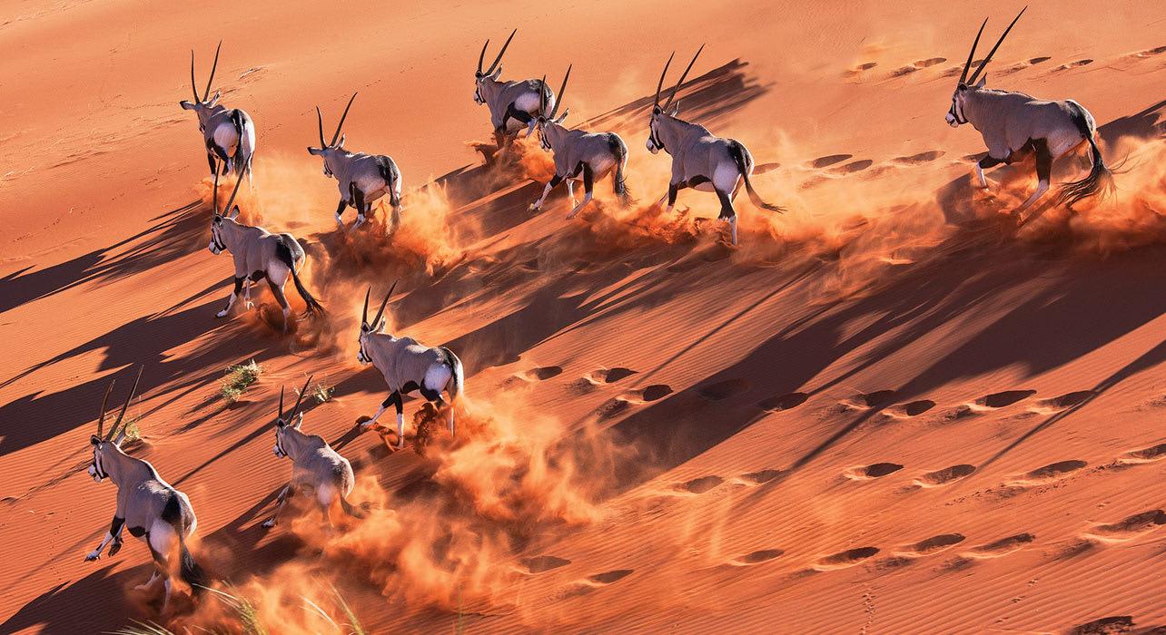4 slide oryx running dune namibia herd africa pano