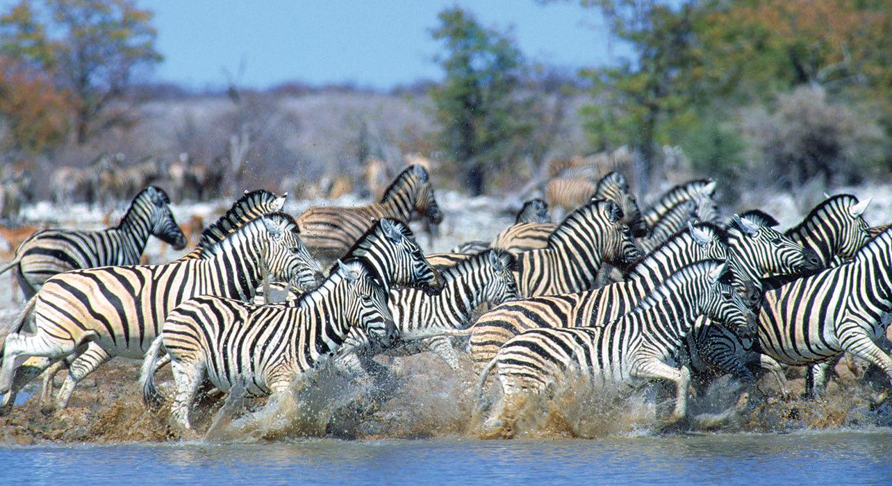 6 slide herd zebra running water africa pano
