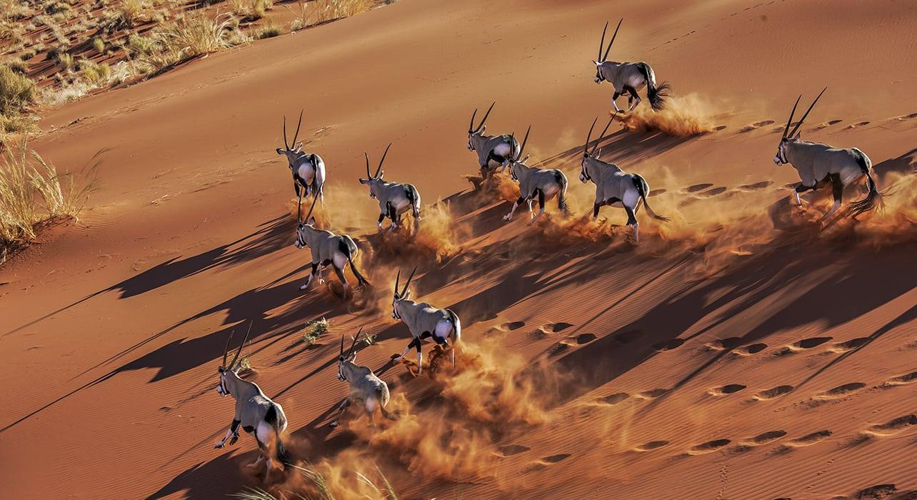gemsbok oryx desert namibia