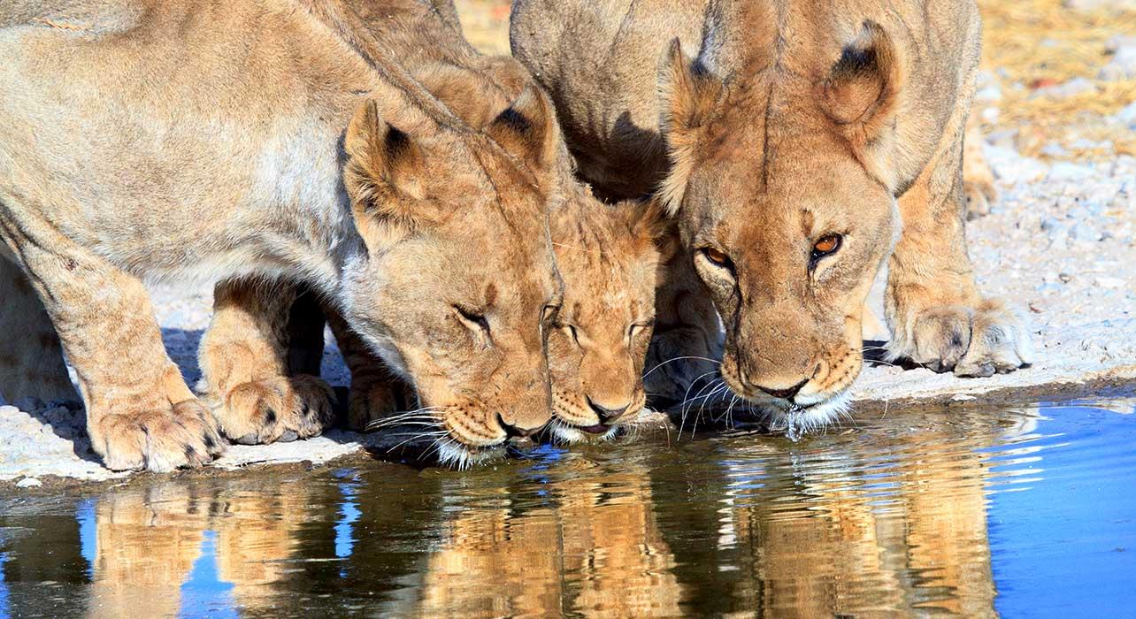 2 slide namibia lions waterhole pano