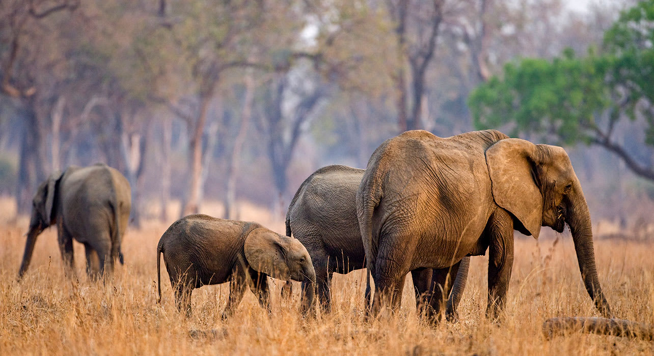 zambia luangwa natl park elephants