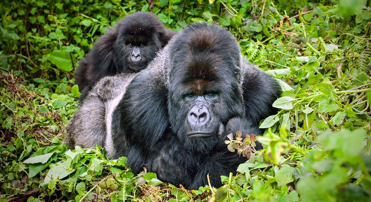 rwanda mountain gorilla and baby