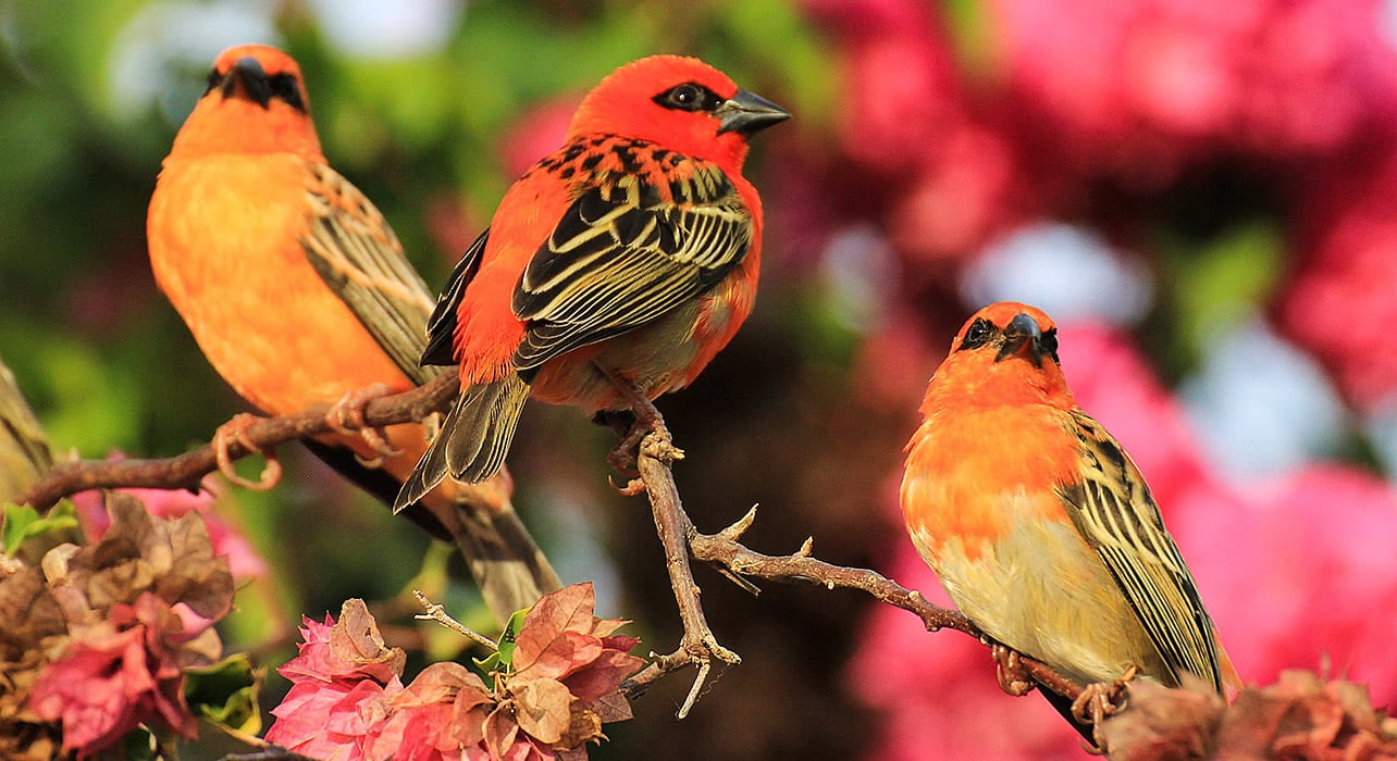 foudi cardinal oiseau des seychelles