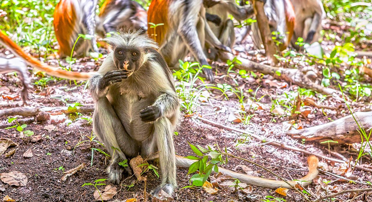 tanzania zanzibar jozani forest red colubus monkey