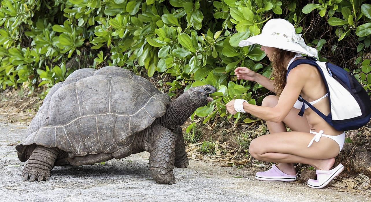 woman feeding aldabra tortoise seychelles