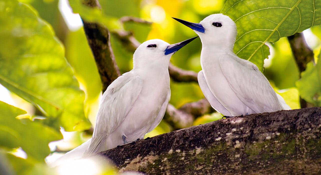 seychelles two white birds