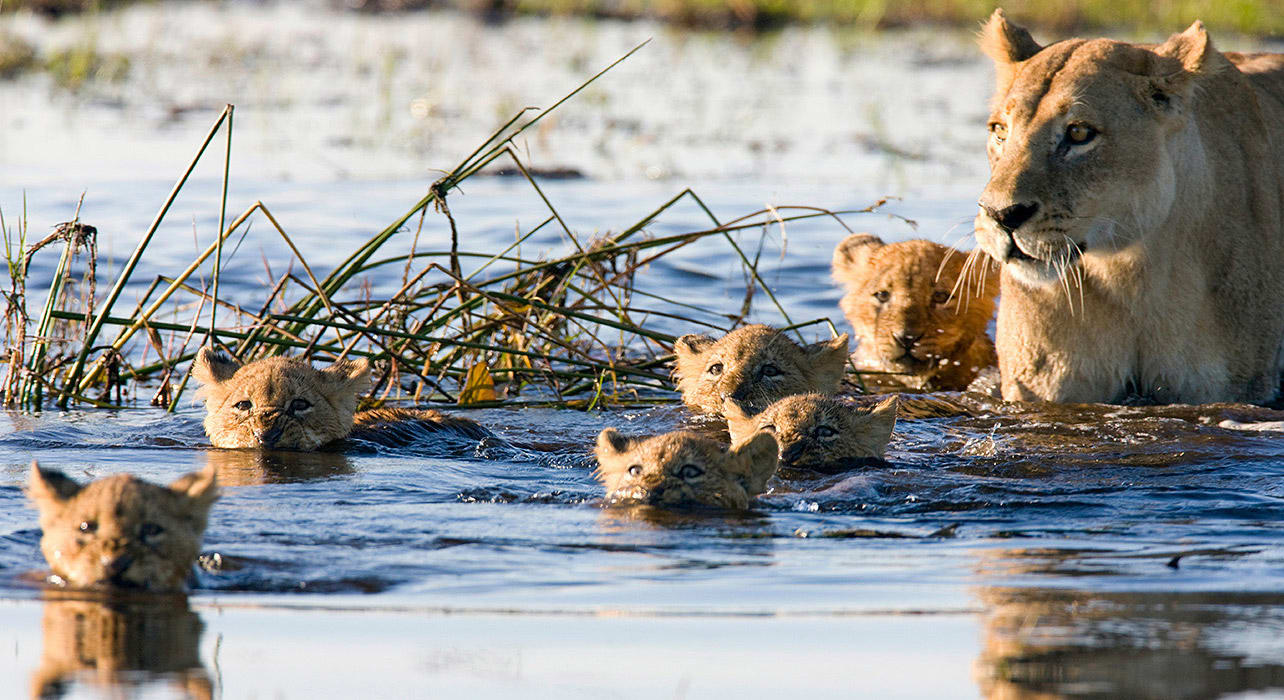 botswana south africa victoria falls malsbury lion swimming