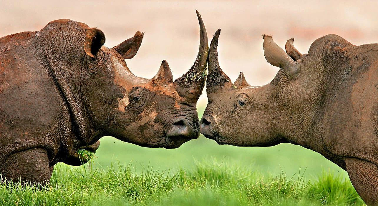 nico smit rhinos