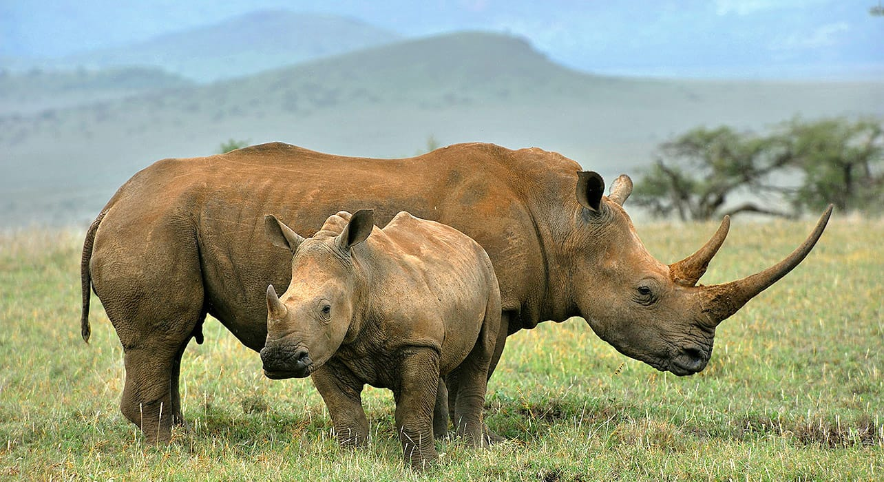 south africa rhinocerus grasslands
