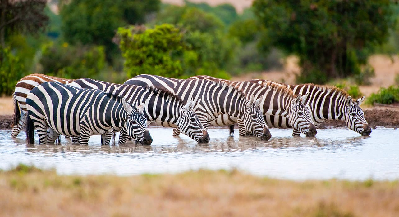 1 slide zebra watering hole pano