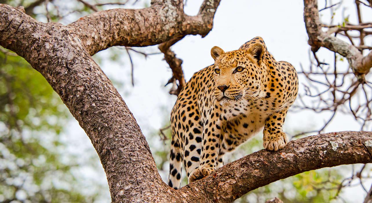 5 slide leopard tree pano