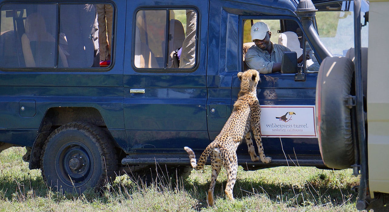 south africa cheetah sniffing vehicle