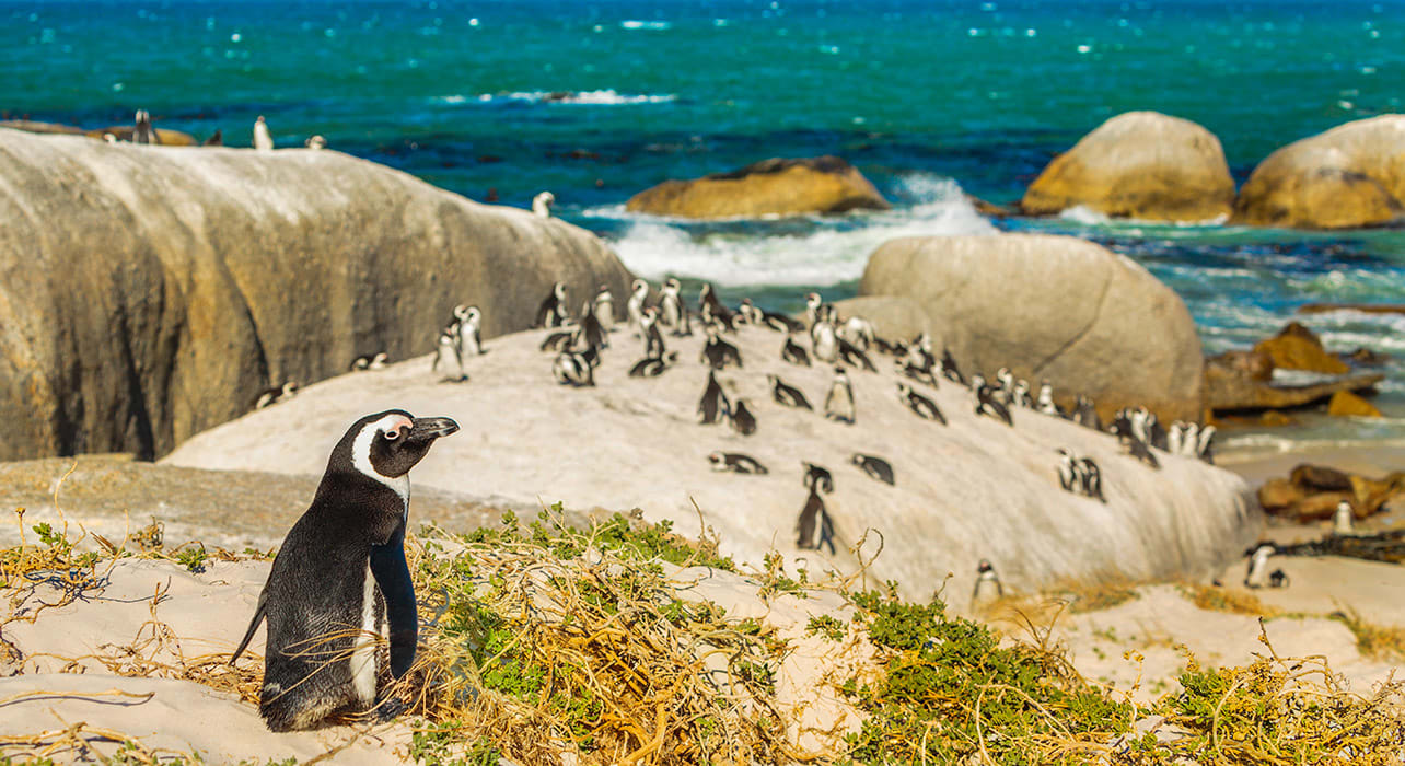 south africa capetown penguins
