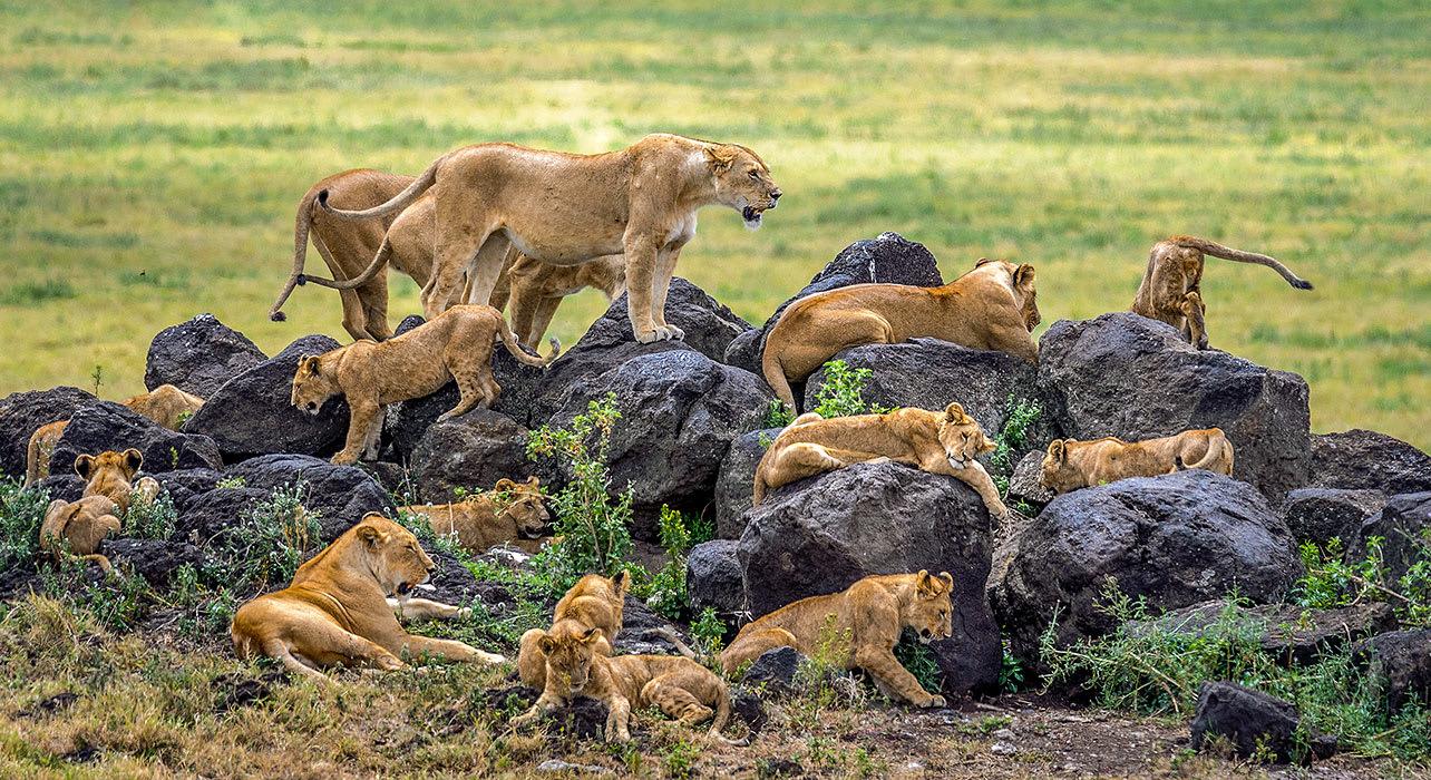 ngorongoro jeep lions