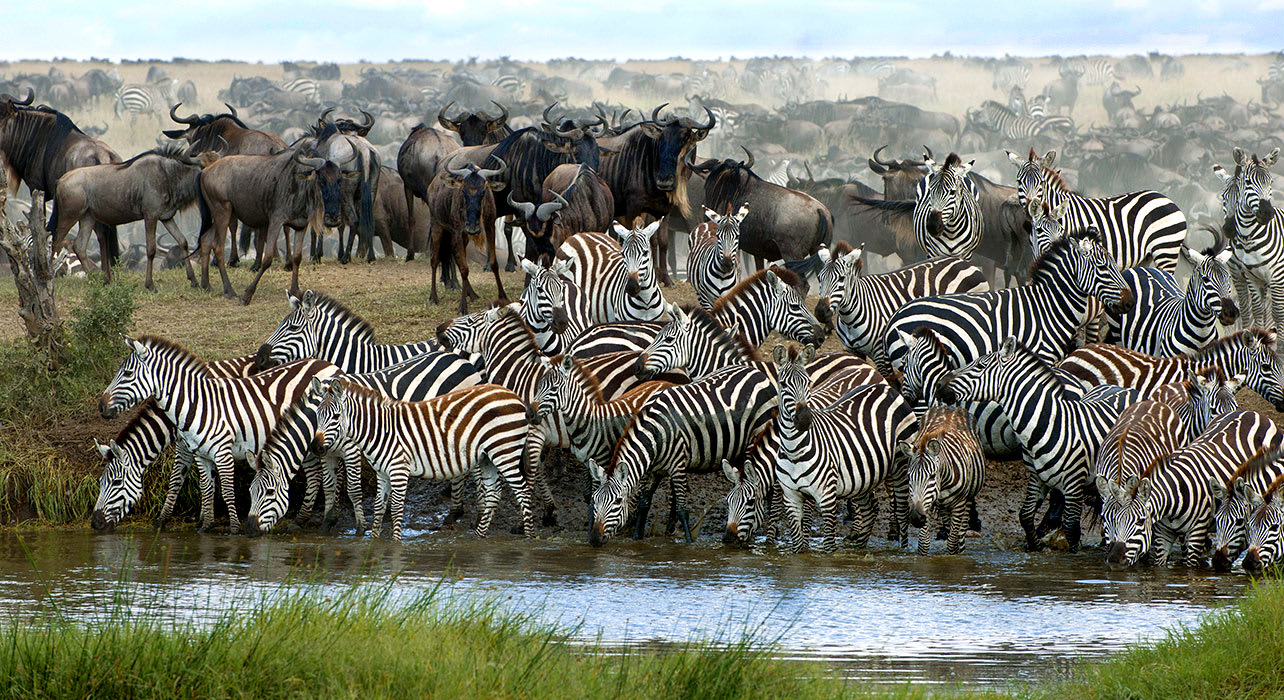 africa migration zebra waterhole