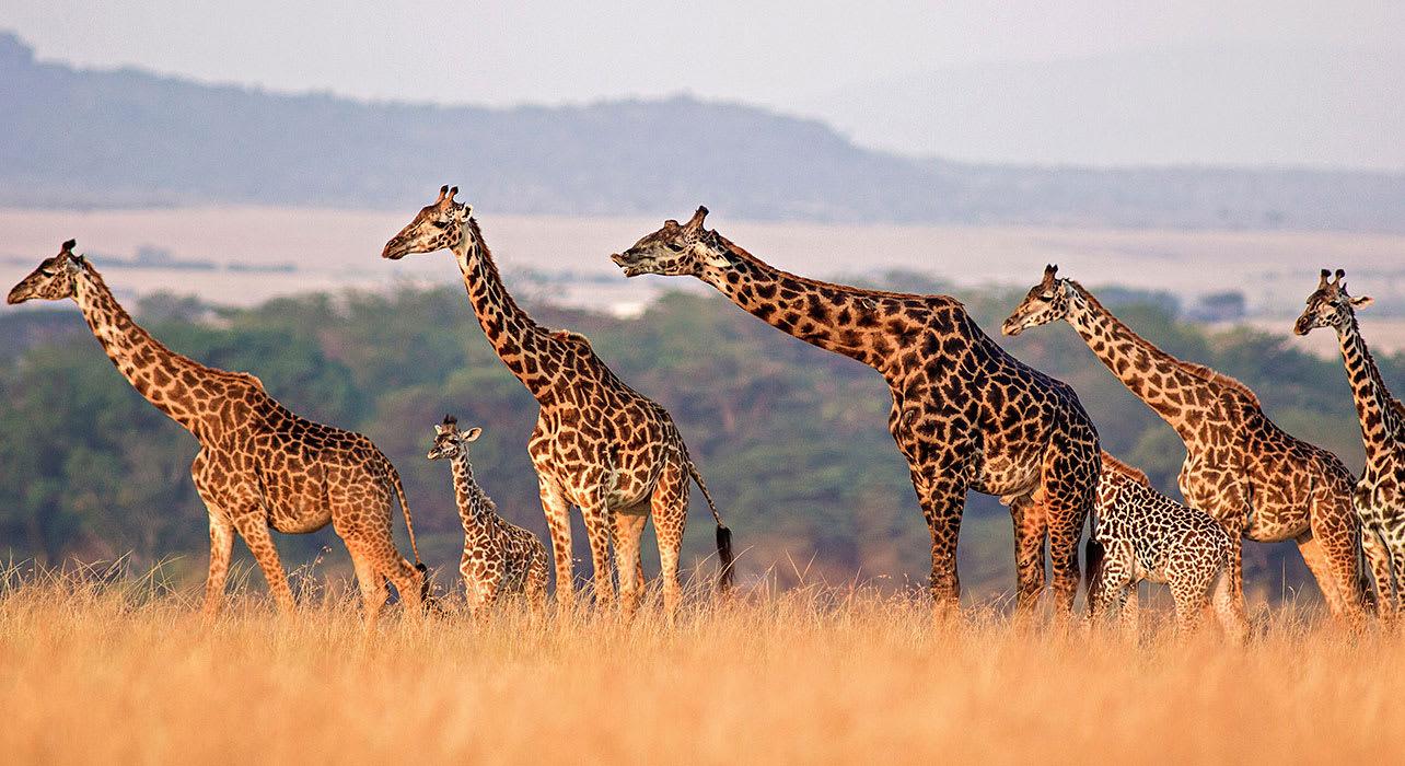 tanzania giraffes walking