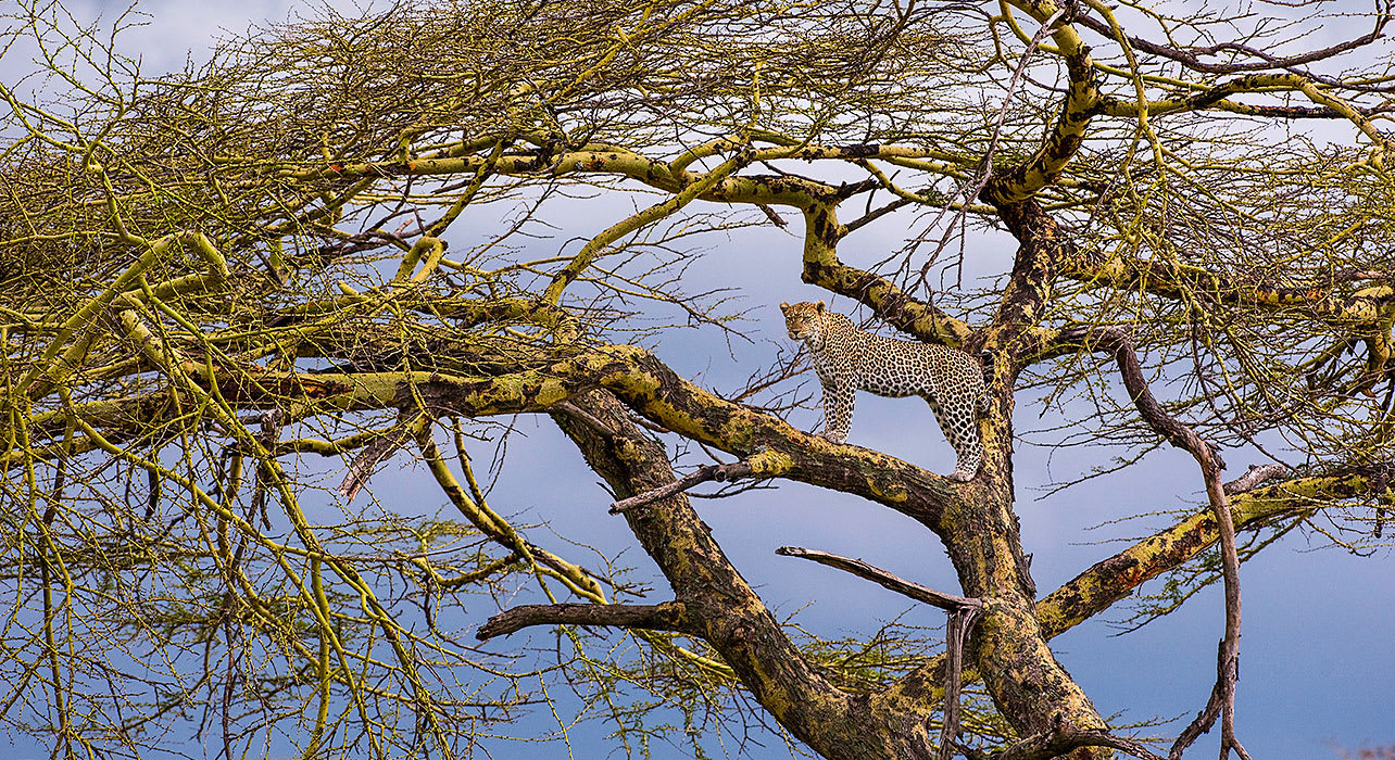 4 slide tanzania tree cheetah pano