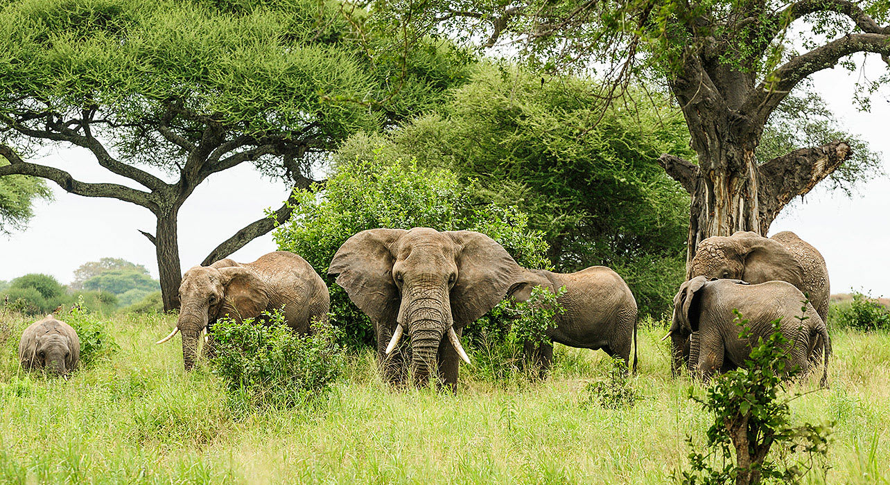 tanzania elephants trees