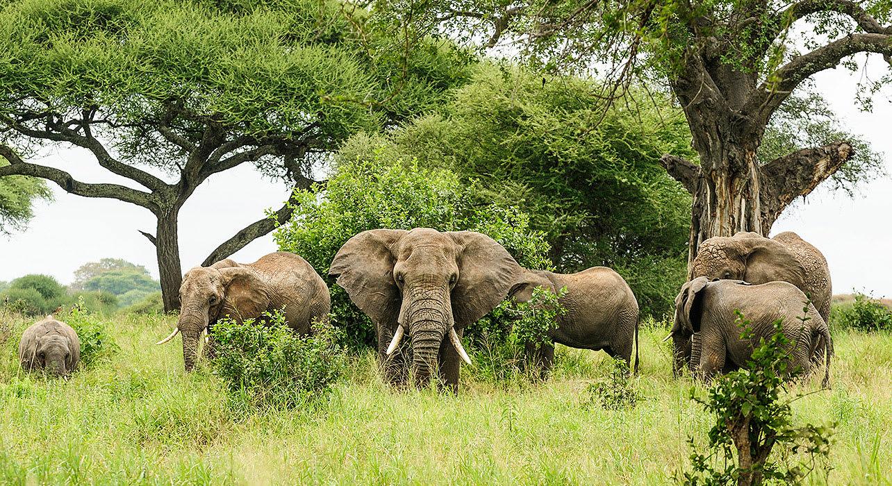 6 slide tanzania elephants trees pano