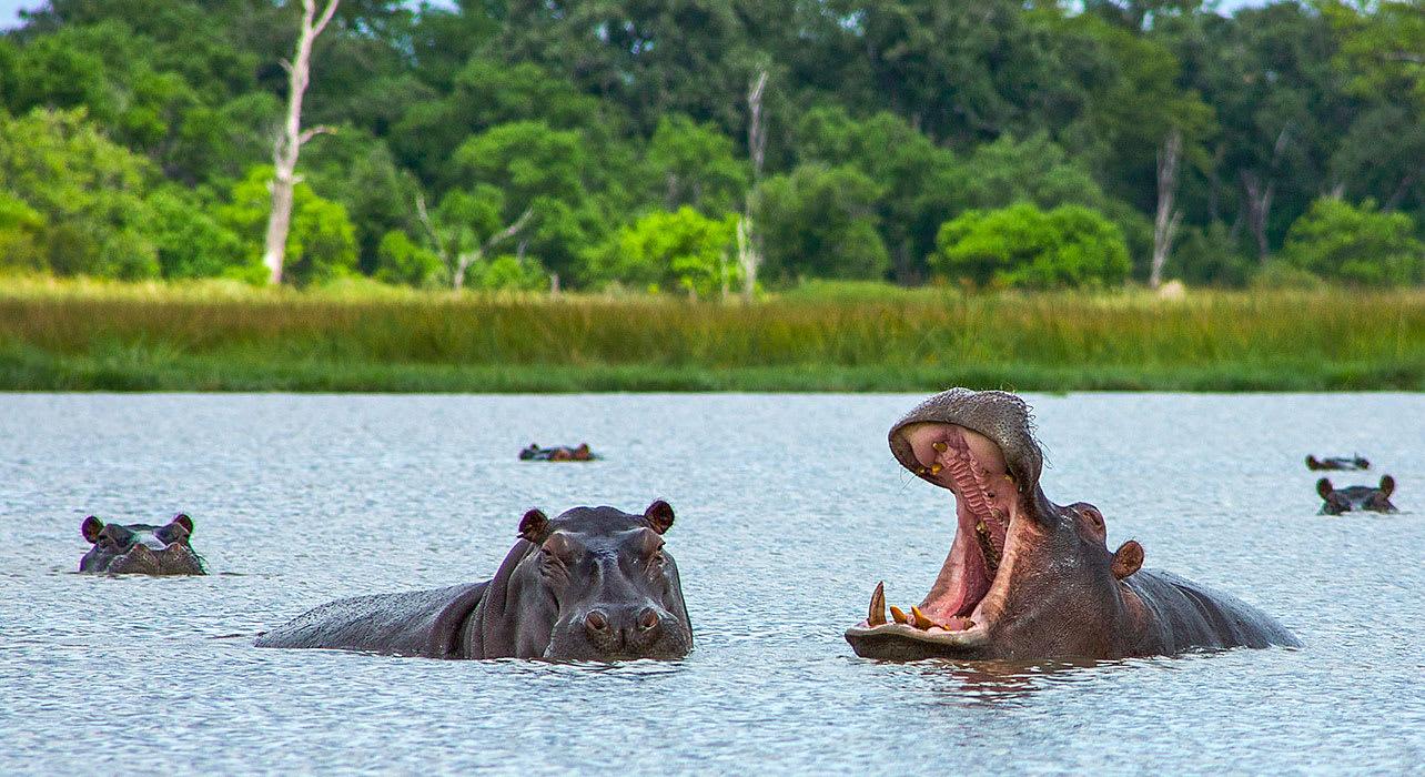 4 slide uganda hippopotamus swim pano