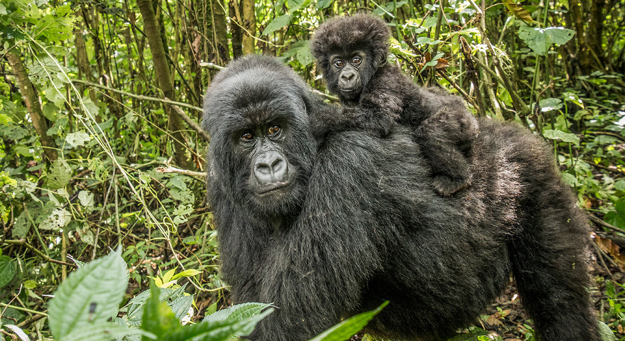 mountain gorilla with baby uganda africa
