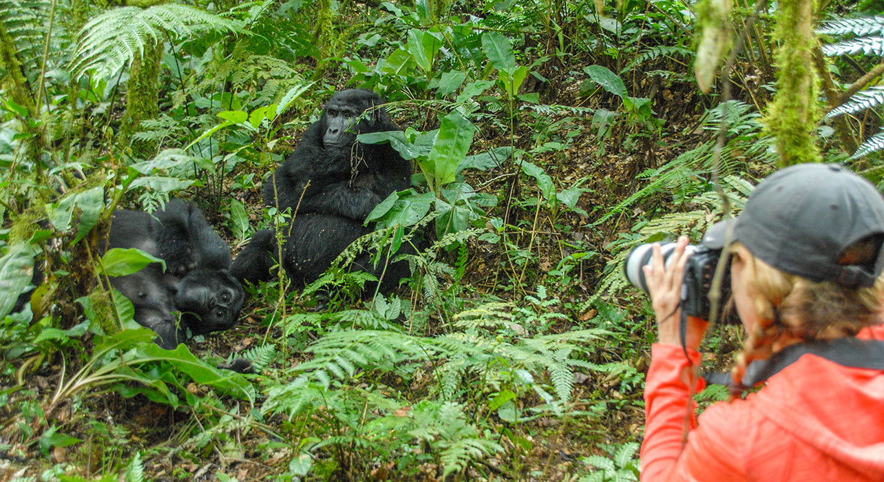 mountain gorilla viewing photographer uganda africa