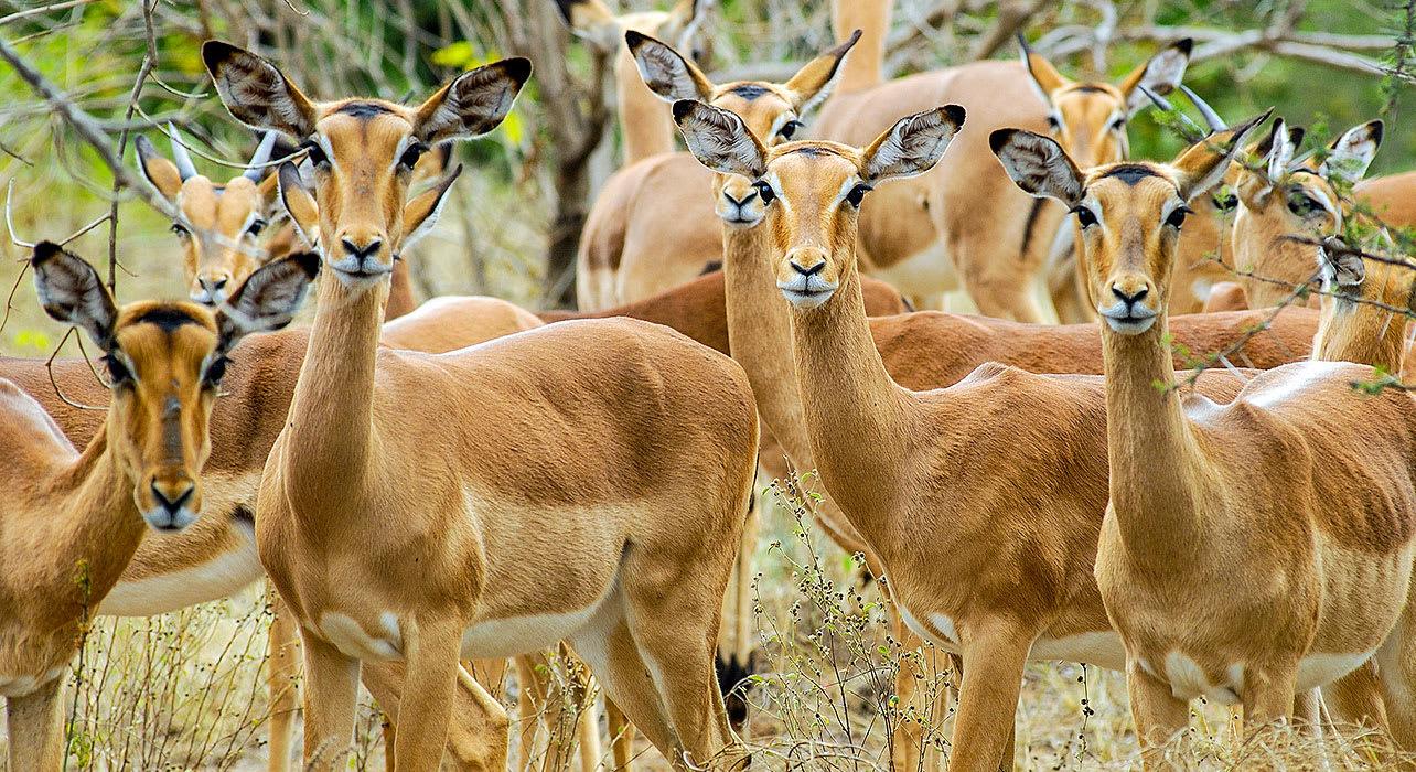 zambia impala