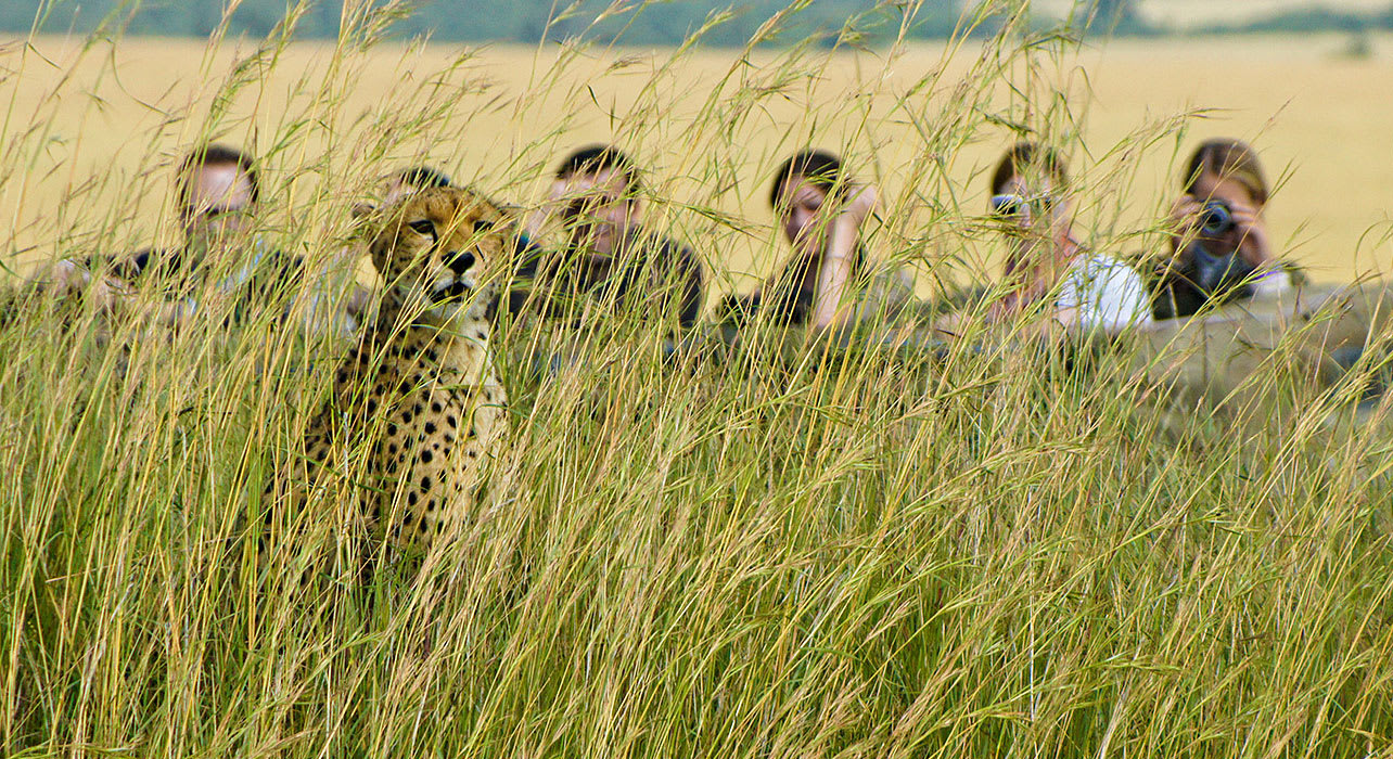 zambia walking safari cheetah