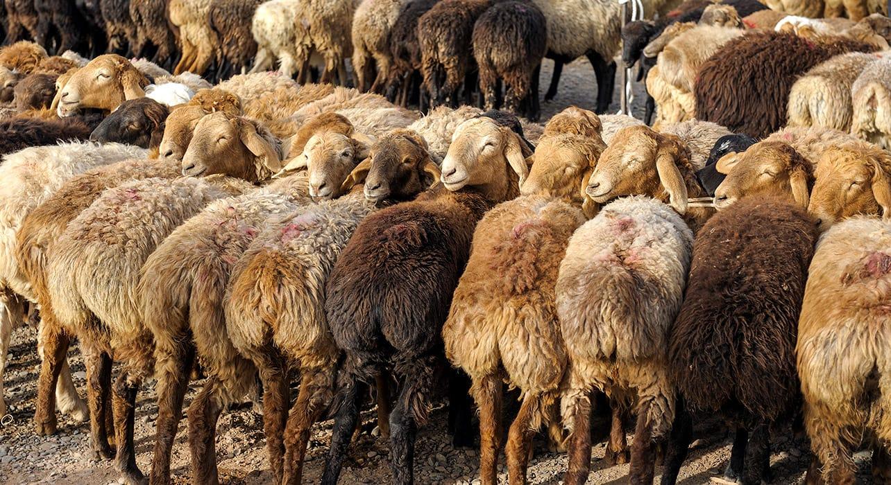 china kashgar animal market goats sheep