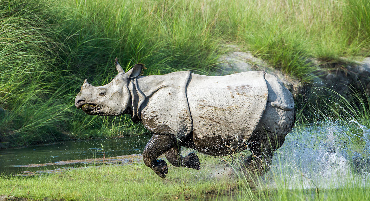 greater one horned rhinoceros