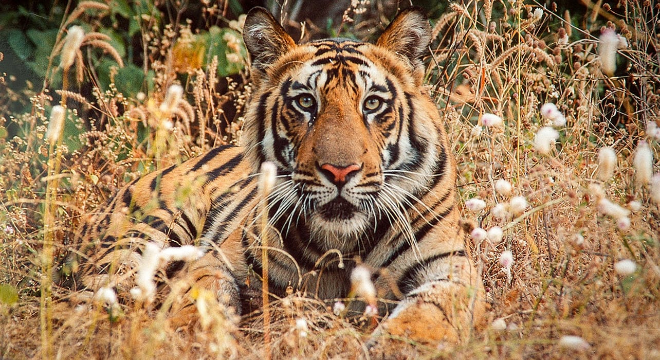 india kanha park bengal tiger wildlife