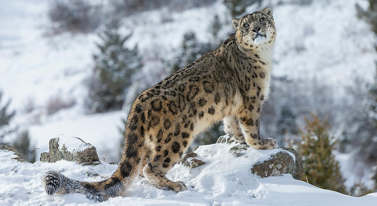 snow leopard winter asia