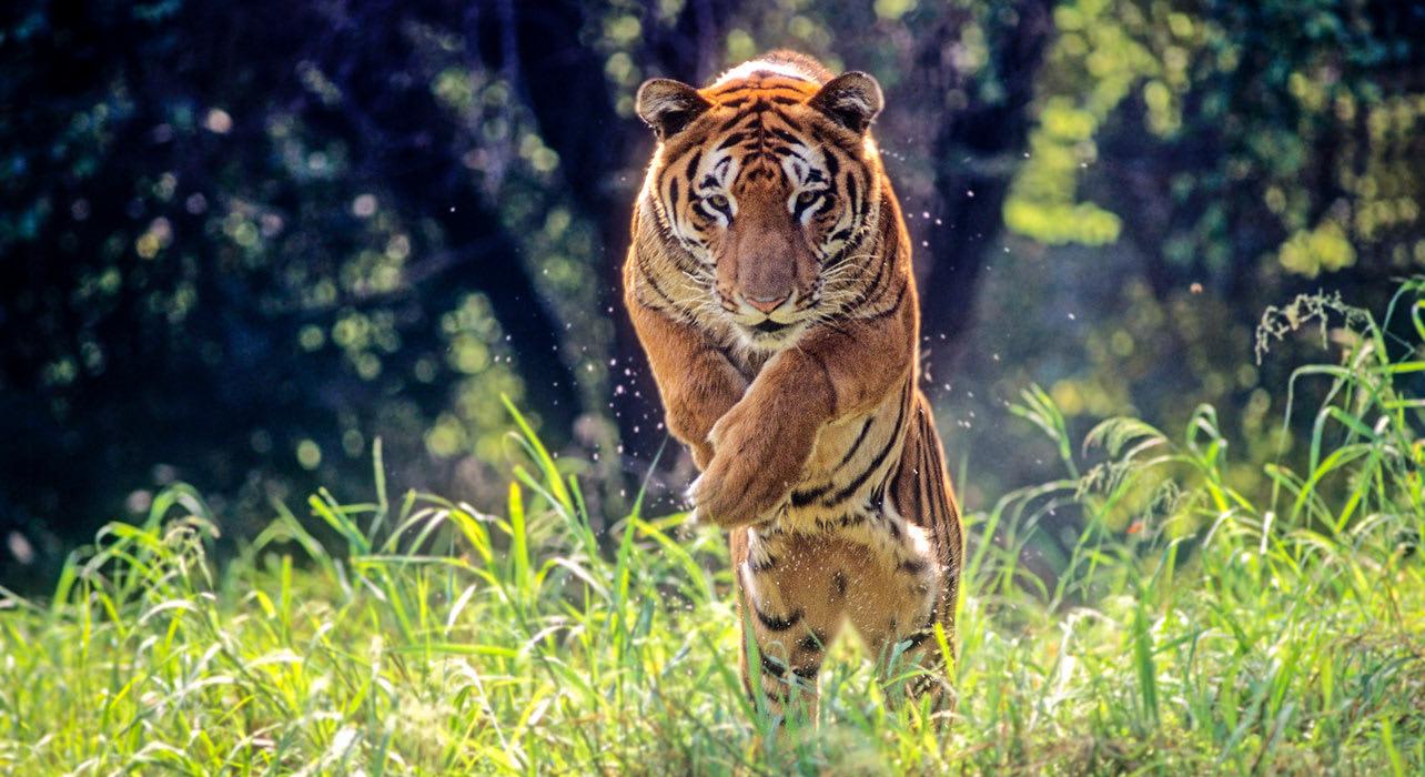 india bengal tiger