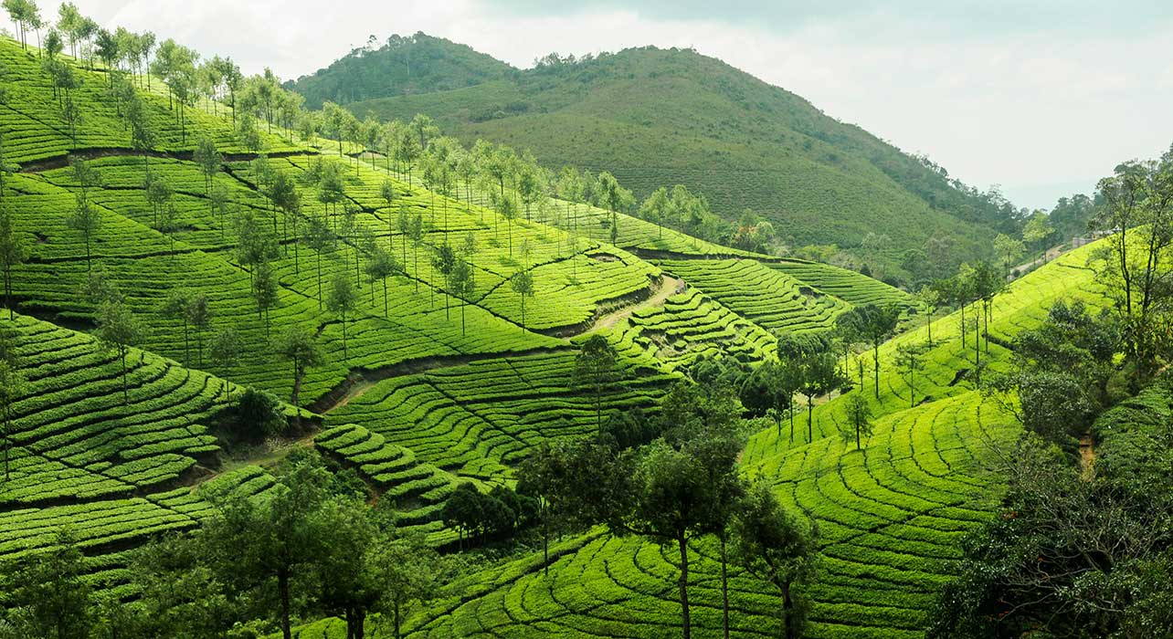 tea plantations periyar india