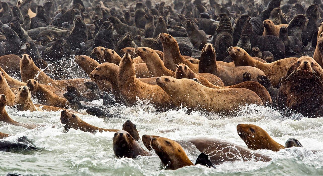 russia kamchatka tyuleniy fur seals