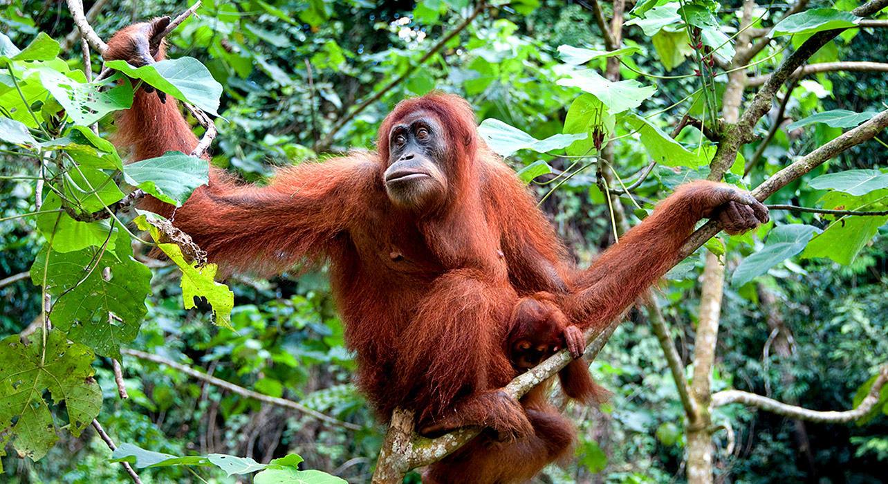 1 slide borneo orangutan jungle pano