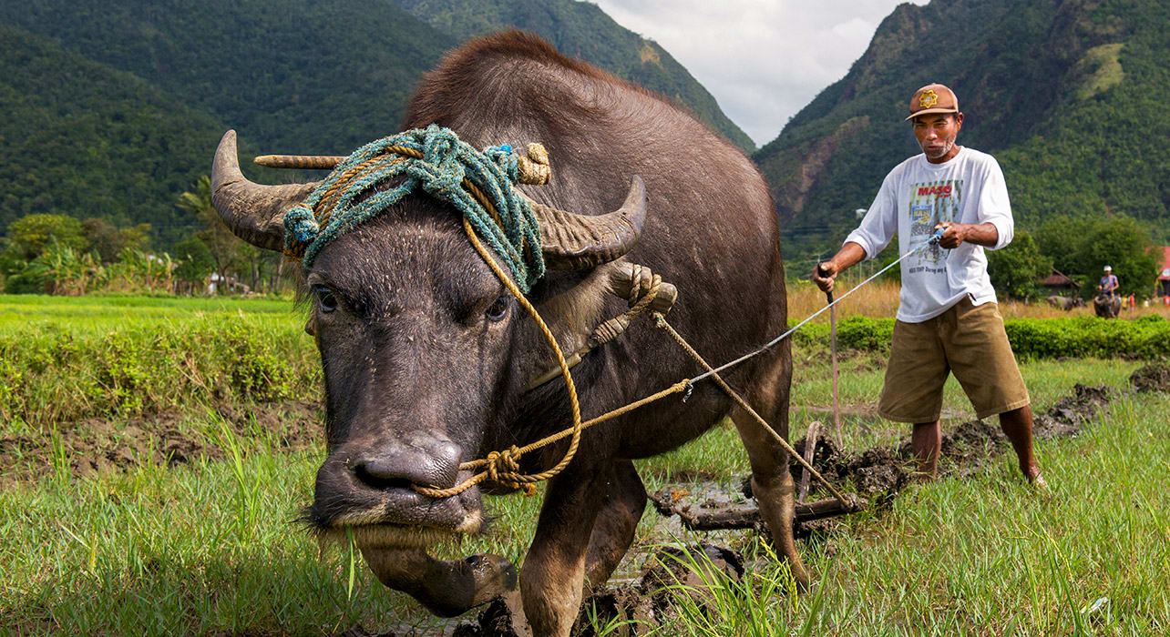 philippines taiwan man plowing with water buffalo