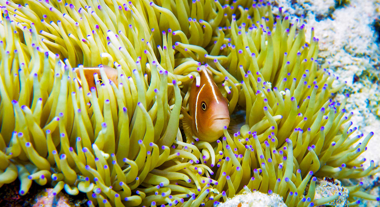 philippines jacksgrove fish sea anemone