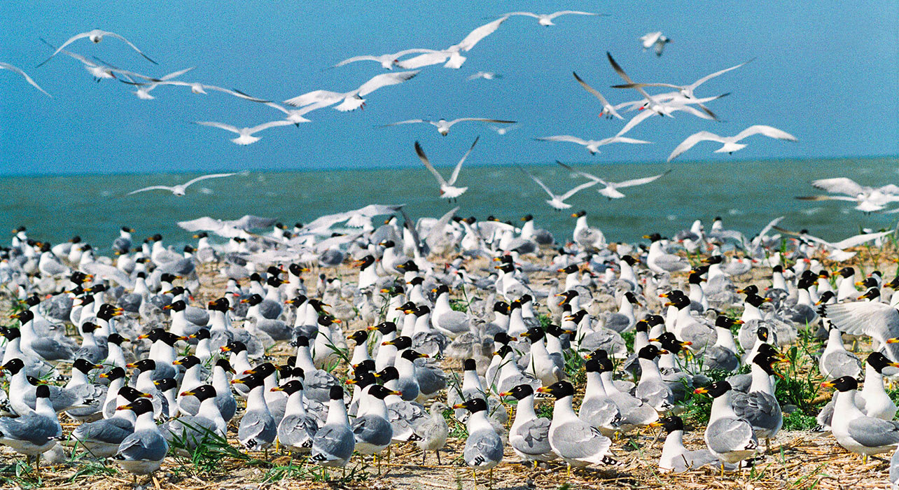 caspian sea shore wildlife gulls