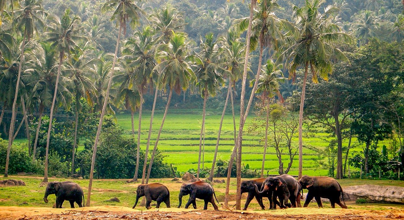sri lanka elephants palm trees