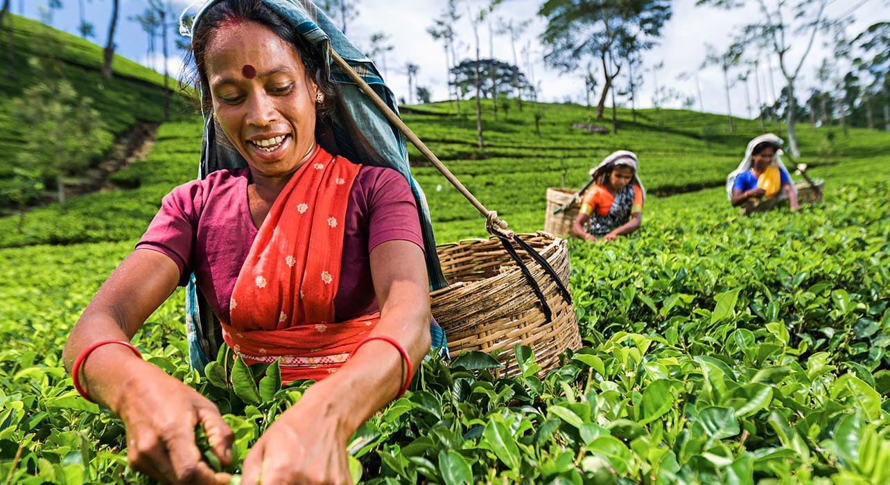 sri lanka tamil tea pickers