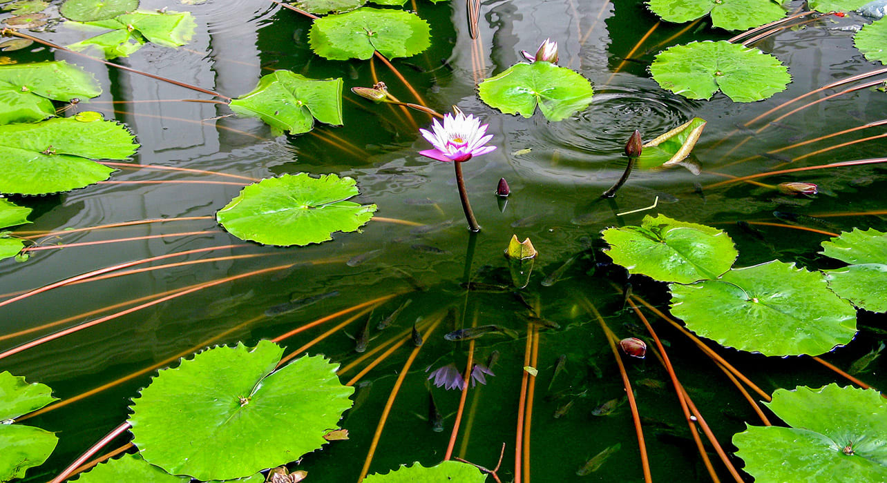 sri lanka lily pads lotus flower