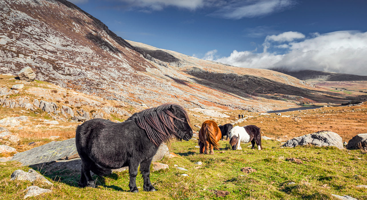wales betws y coed ponies