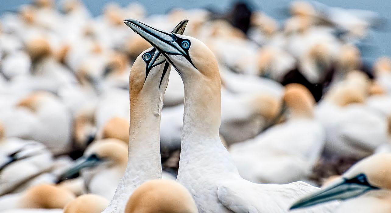 scotland bass rock northern gannets