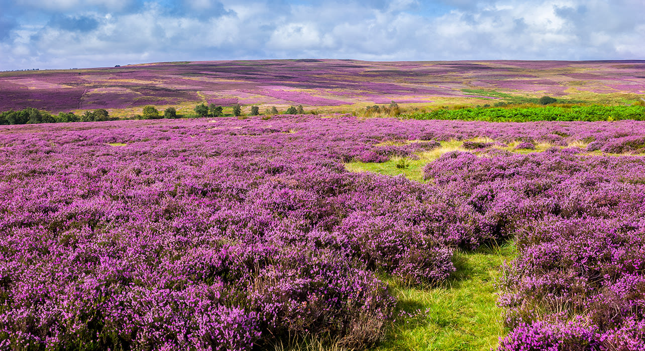 england yorkshire moors heather blooming