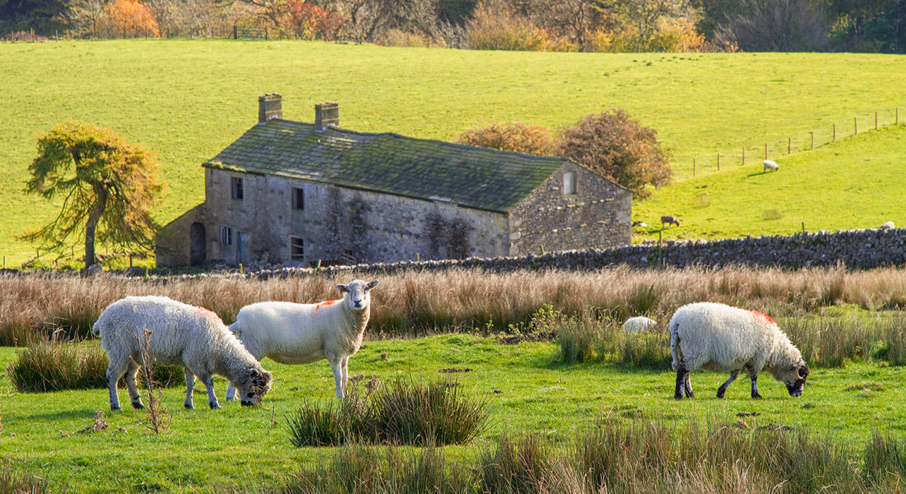 sheep old house england